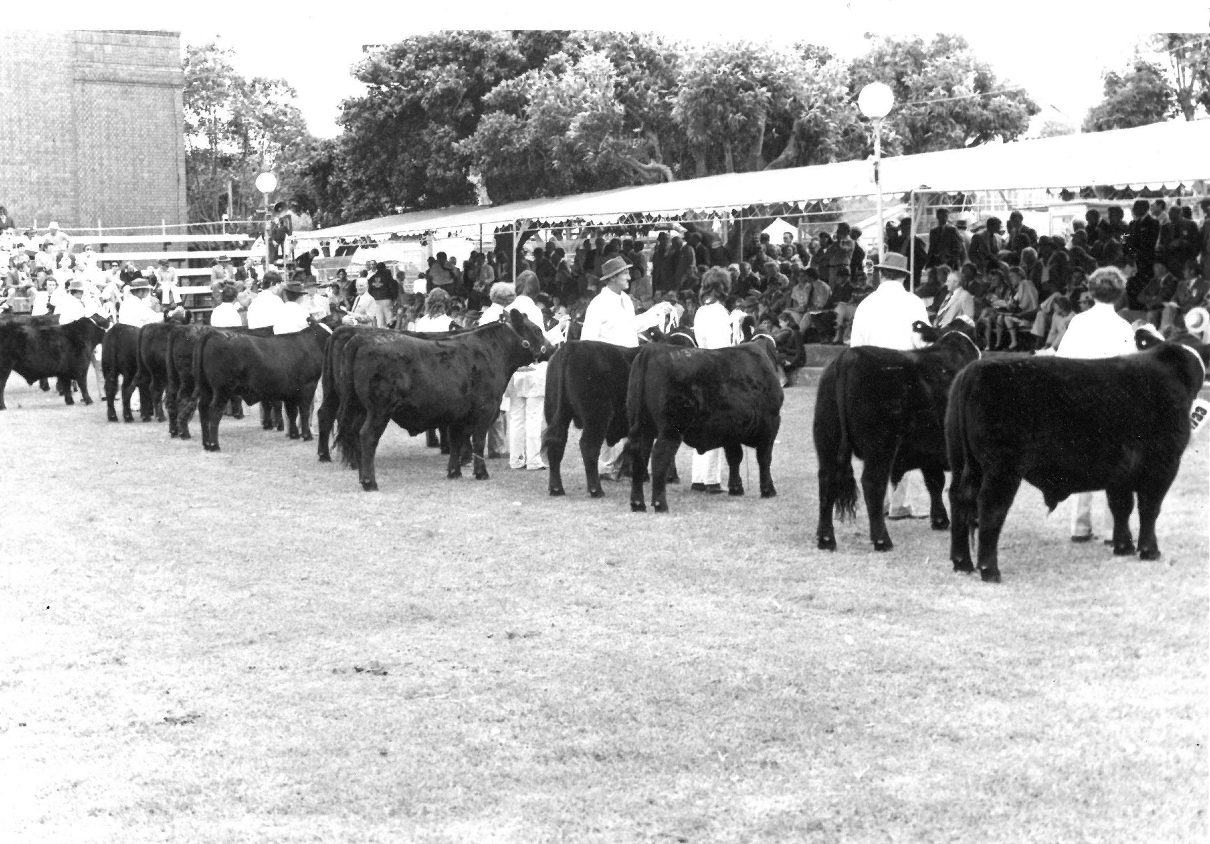 A line up of steers at the 1981 Sydney Royal Show