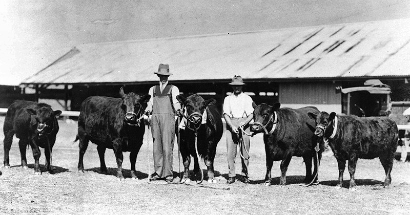 Bald Blair Angus prize winners at the 1929 Sydney Royal Show