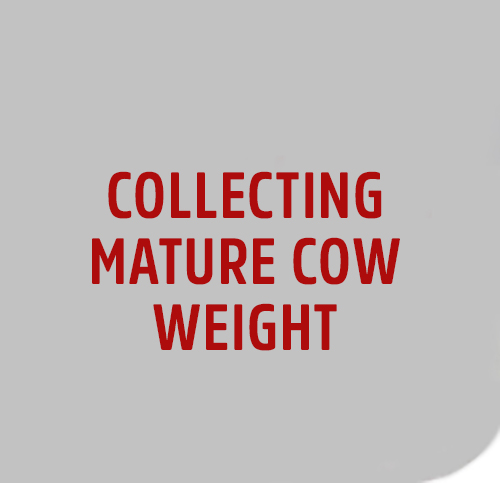 COLLECT-MATURE-COW-1