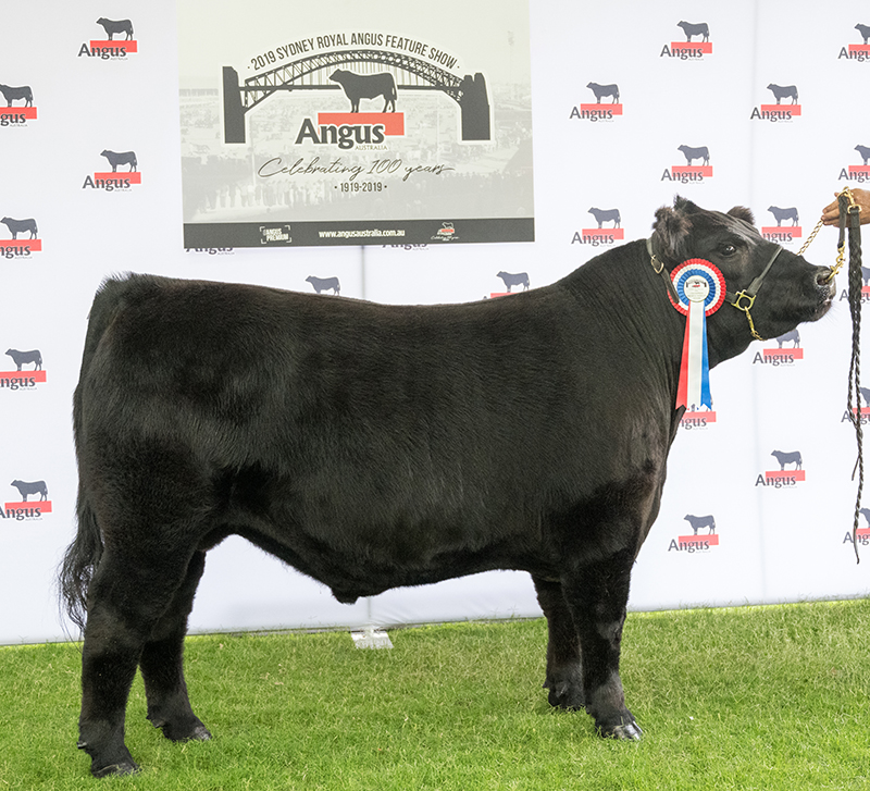 Middleweight Champion Steer