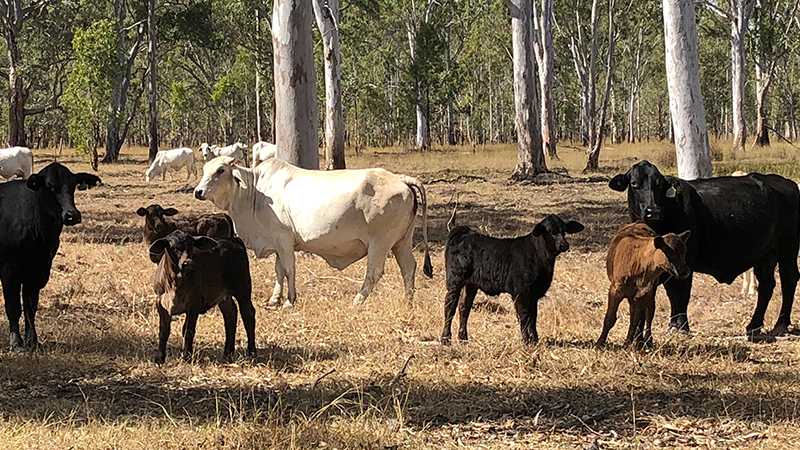 Angus-sired-calves-out-of-Brahman-females-wider-view