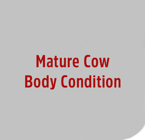 Mature-Cow-Body-Condition